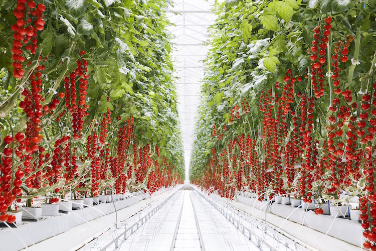 Tomatoes grow at Mastronardi's greenhouse operation in Coldwater.